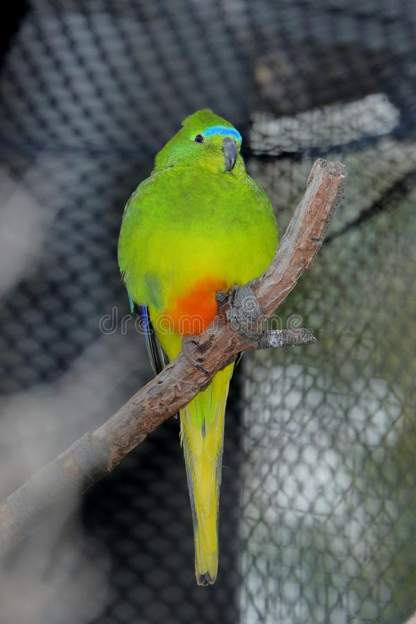 Orange-Bellied Parrot Neophema Chrysogaster royalty free stock photography