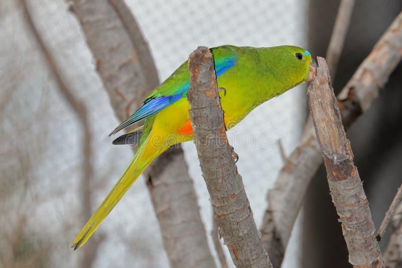 Orange-Bellied Parrot Neophema Chrysogaster stock photo