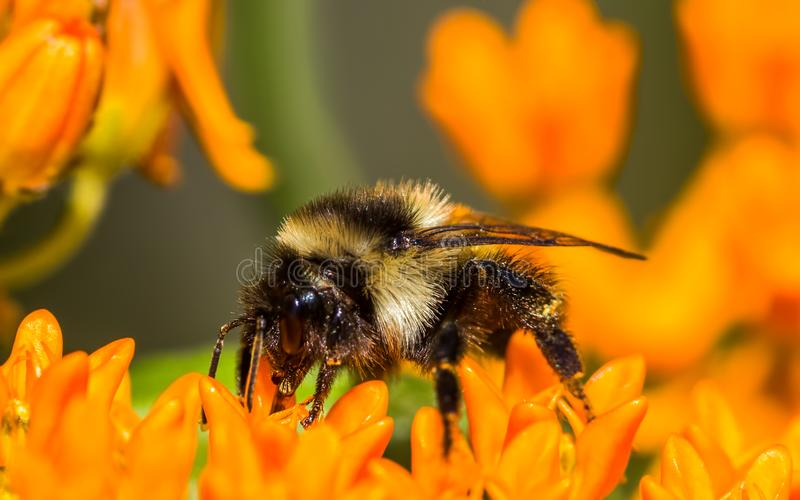 Orange-belted bumble bee on butterfly milkweed orange flower at the Crex Meadows Wildlife Area in Northern Wisconsin - Extreme clo stock photo
