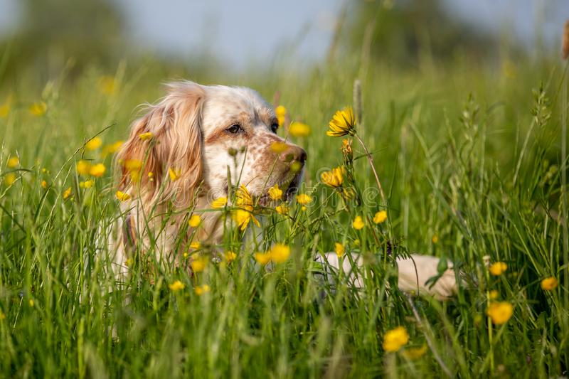 Orange Belton English Setter hiding in high grass with yellow flowers. Belton blossom blossoms brown buttercup depth field dog english setter flowers free grass stock photos