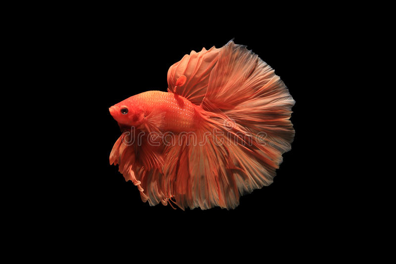 Orange betta fish royalty free stock images