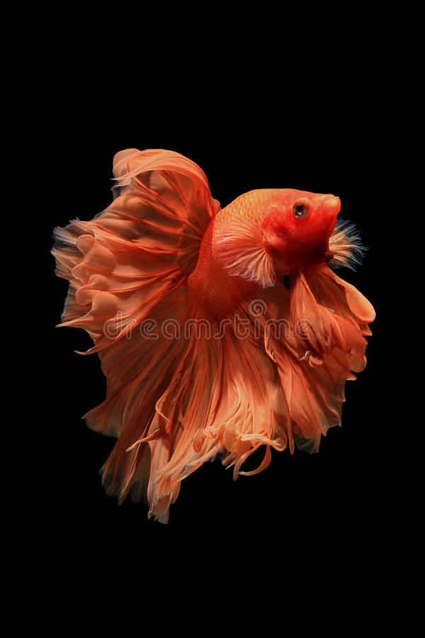 Orange betta fish royalty free stock photo