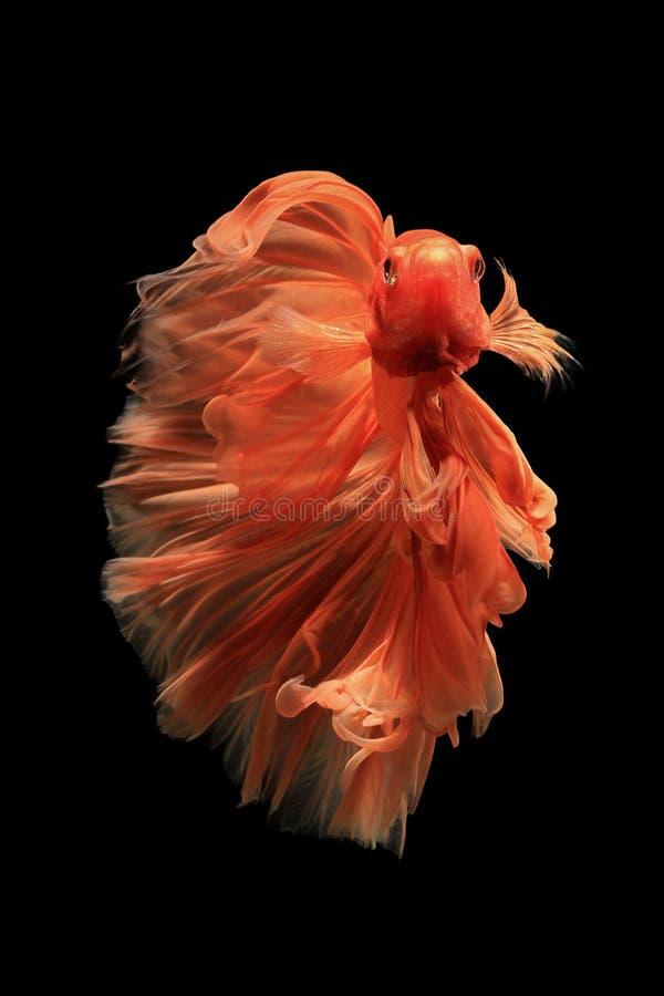 Orange betta fish. Orange siamese fighting fish isolated on black background.Ballerina betta fish stock photography