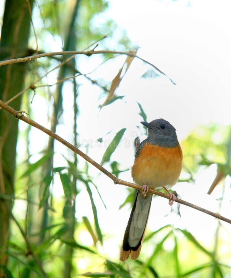 Orange bird. Small orange bird stand on the bamboo branch stock photos