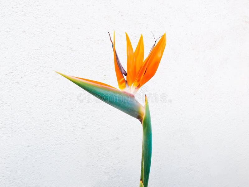 Orange Birds of Paradise Flower Closeup Photo royalty free stock photos