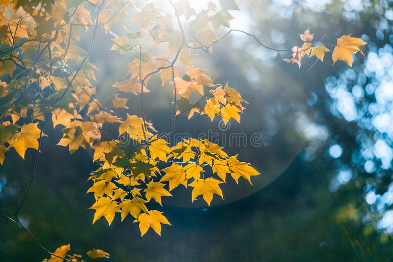 Orange Blätter, die in Sonne glühen lizenzfreie stockfotografie