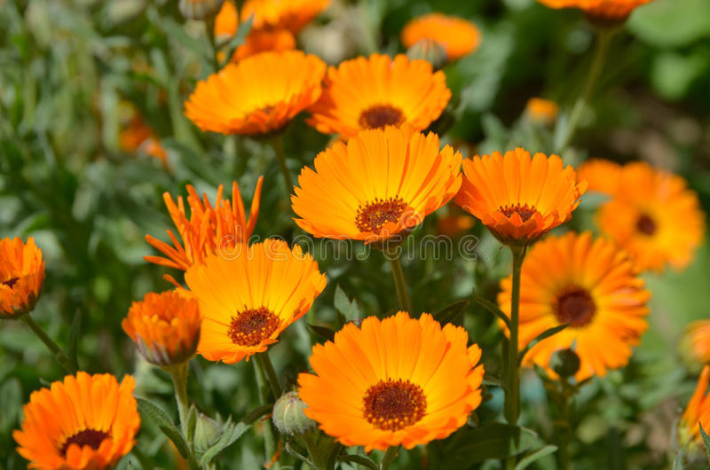 Orange blüht Calendula stockbild