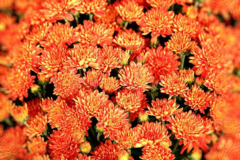 Orange blüht Hintergrund stockfoto