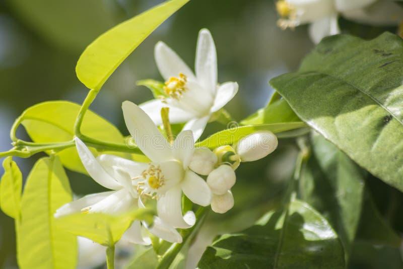 Orange Blüten im Frühjahr stockfoto