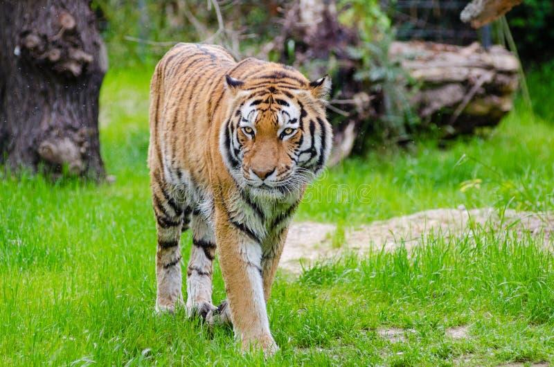 Orange And Black Bengal Tiger Walking On Green Grass Field During Daytime Free Public Domain Cc0 Image
