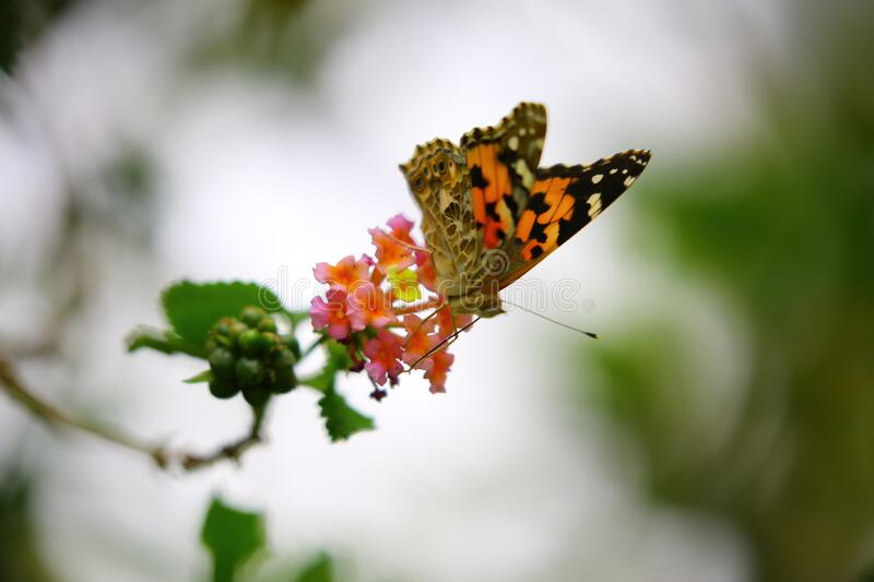 Orange and Black Butterfly Sip Nectar royalty free stock images