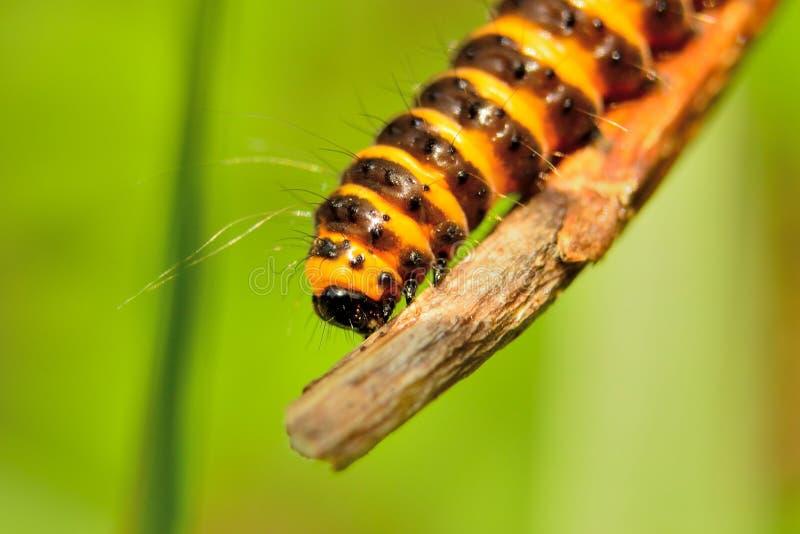 Download Orange And Black Cinnabar Moth Caterpillars Stock Photo - Image: 32556694