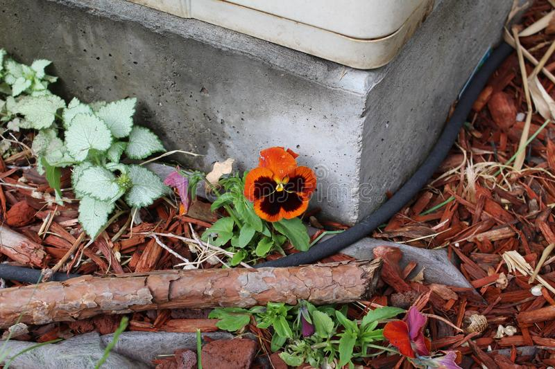 Orange and black flower in bed royalty free stock image