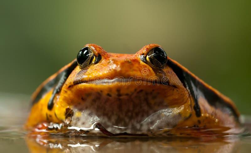 Orange And Black Frog Free Public Domain Cc0 Image