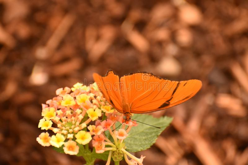 Bright orange winged heliconian butterfly on a flower. Orange and black heliconian butterfly on a beautiful yellow and pink flower royalty free stock photography