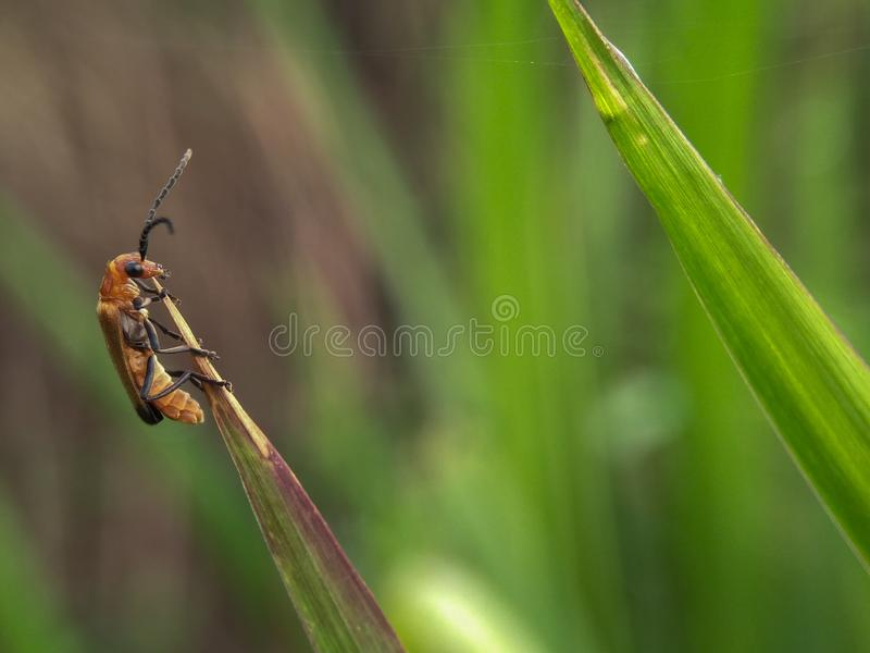 Orange black insect on dry grass. With blur green background royalty free stock images