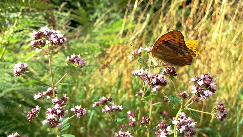 Butterfly Argynnis Paphia in the summer at noon in the meadow on the flowers stock photos