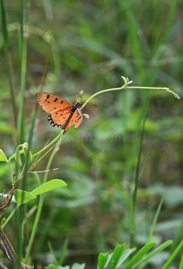 Orange and black spotted Acraea violae butterfly spreads its wings on a thin twig. stock image