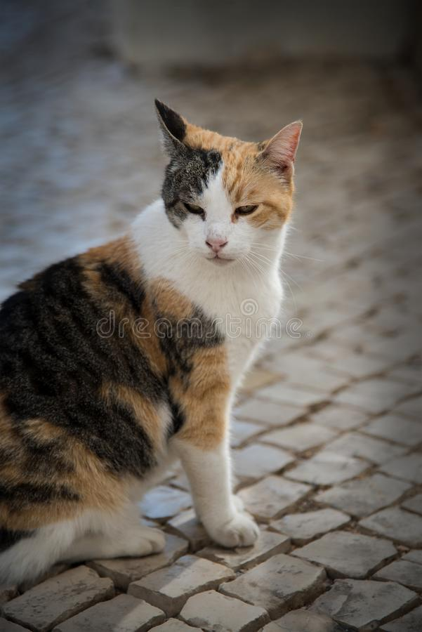 Orange black and white alley cat. Close up of a happy, healthy, orange black and white alley cat stock photography