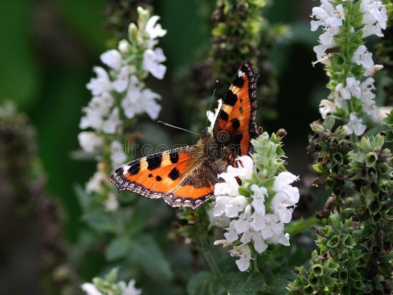 Orange Black and White Butterfly on White Petal Flower royalty free stock photo