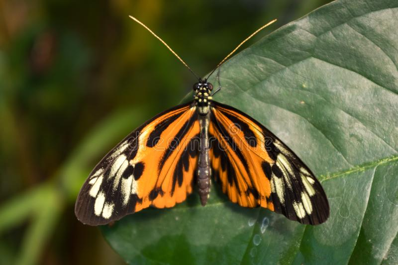 Orange, black and white butterfly, posing on a green leaf. Heliconius Numata Aurora. Latin America royalty free stock photo