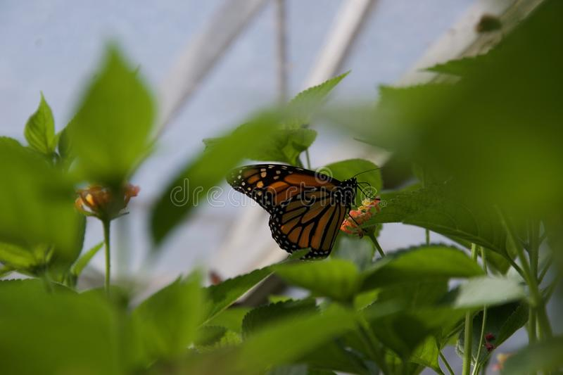 Orange, black and white butterfly seen through green leaves. An orange, black and white butterfly feeding on a flower, seen through a network of green leaves stock photography