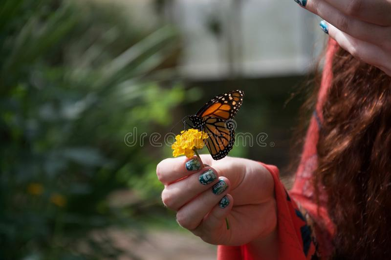 An orange, black and white butterfly on a yellow flower in a lady`s hand royalty free stock photography