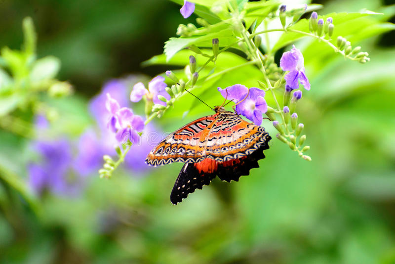 Orange, black and white Common Lacewing butterfly. On a purple flower royalty free stock photography