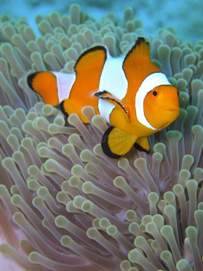 Orange Black and white stripe clown fish. On sea anemone stock photos