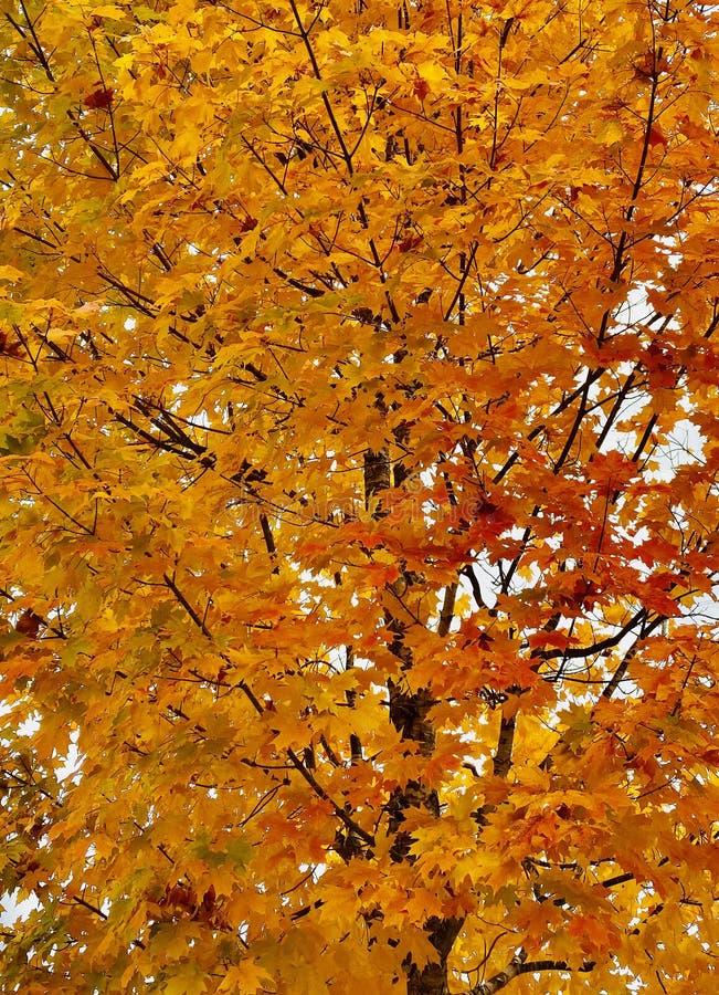 Orange blad i ett träd royaltyfri bild