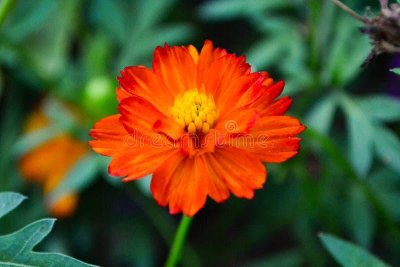 Orange blomma royaltyfri foto