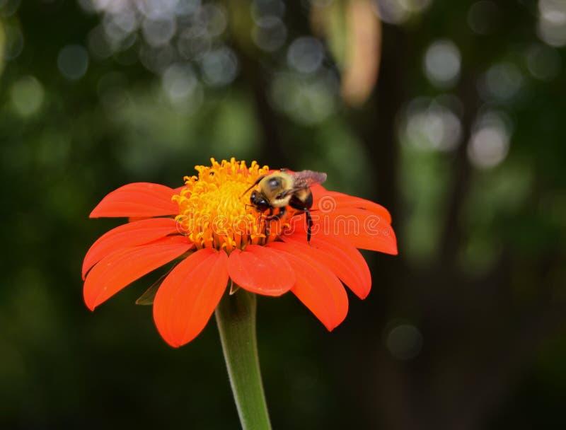 Orange blomma med biet arkivfoton
