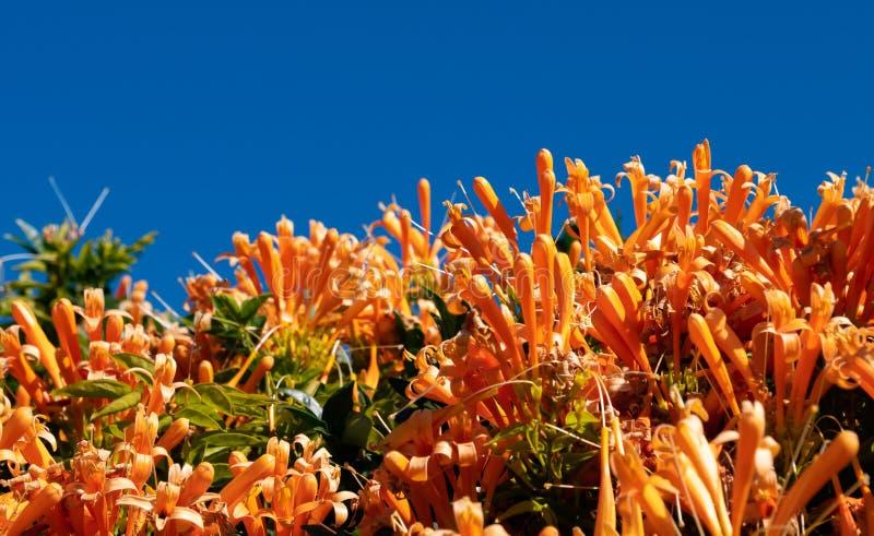 Orange blommabuske mot ljus blå himmel arkivfoto