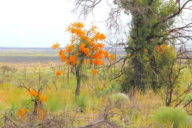 Orange blommande julgran, Nuytsia Floribunda, i västra Australien royaltyfri foto