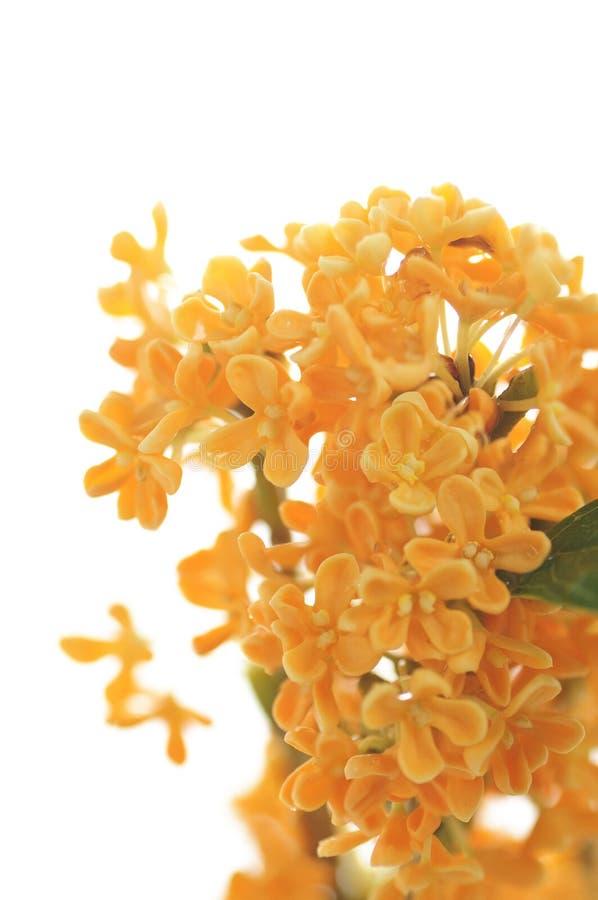 Orange blommor av den söta osmanthusen royaltyfri bild