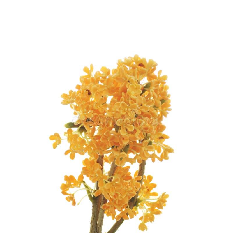 Orange blommor av den söta osmanthusen royaltyfria foton