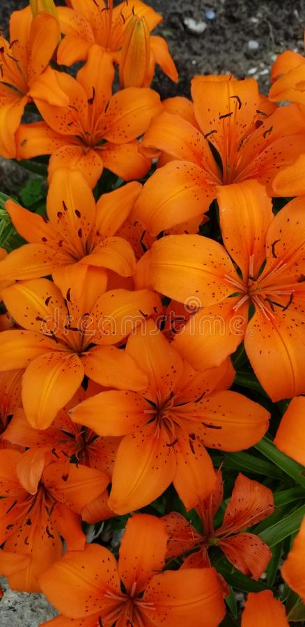 Orange blommor i blom arkivbilder