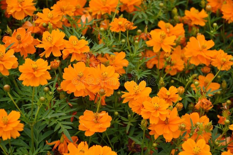 Orange blomning royaltyfria bilder