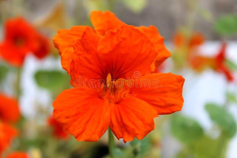 Orange blomning arkivfoton