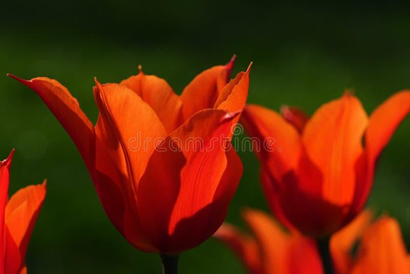 Orange blomstra tulpanblommor, hybrid- sort för eventuellt orange kejsare, kallade också den Fosteriana tulpan royaltyfri fotografi