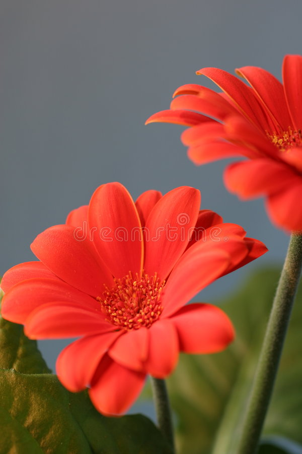 Orange bloom royalty free stock photography