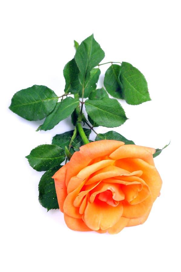 Free Orange Blooming Flower Royalty Free Stock Images - 11723289