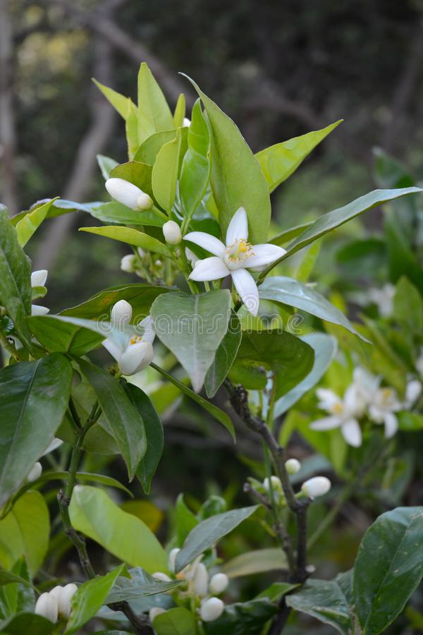 Orange blossoms among green leaves stock images