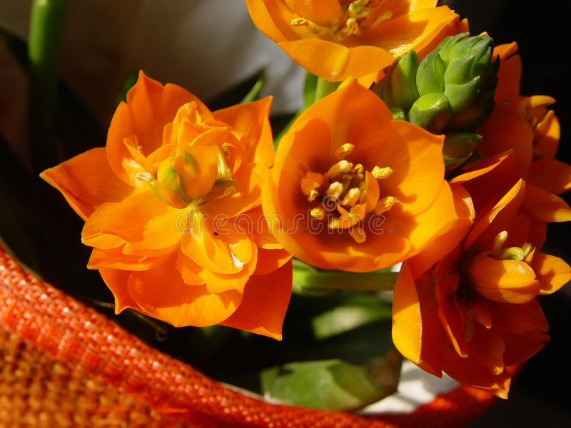 orange blossoms in a pot stock photography