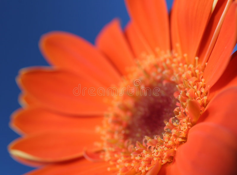 Download Orange on blue 3 stock photo. Image of florist, bouquet - 112766