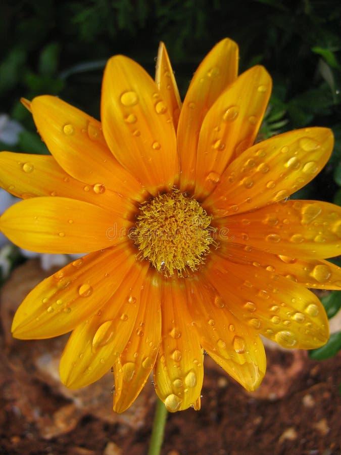 Orange Blume lizenzfreie stockfotografie
