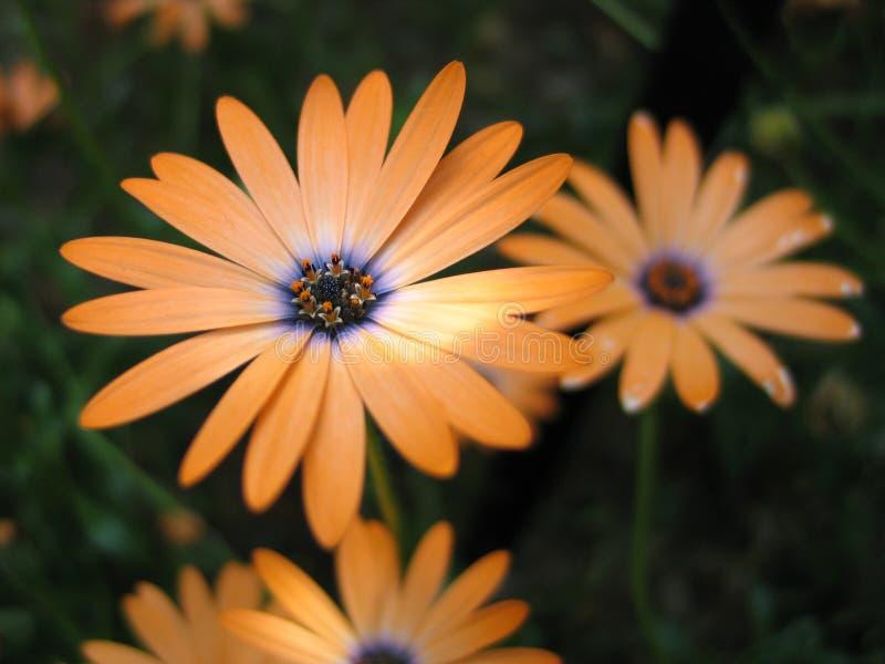 Download Orange Blume stockbild. Bild von blume, grün, hell, orange - 29517