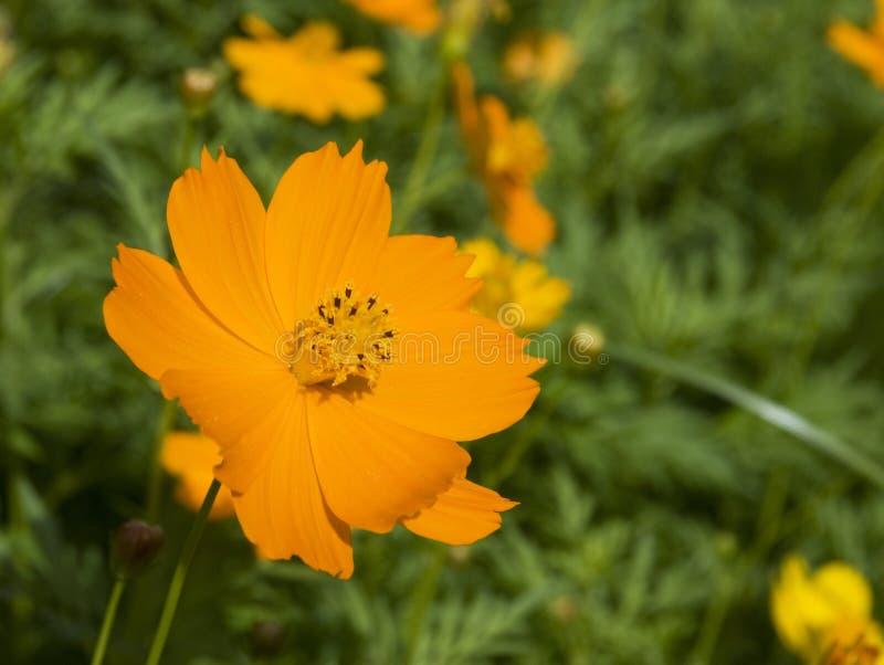 Orange Blume lizenzfreie stockbilder