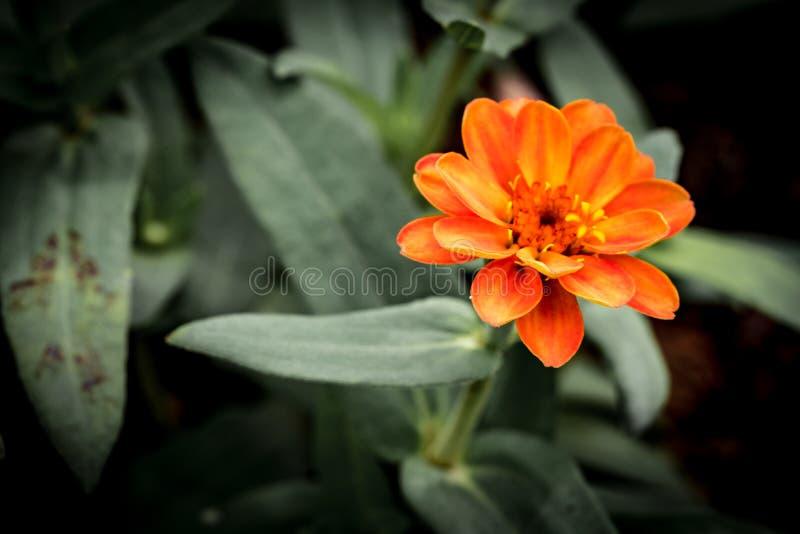Orange Blume auf grünen Blättern lizenzfreie stockfotografie