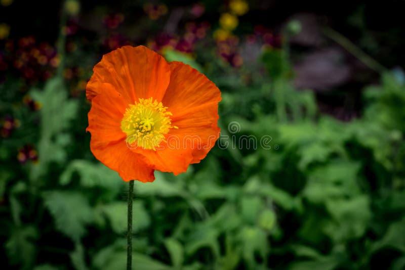 Orange Blume auf grünen Blättern stockbild